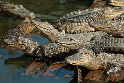 Strong America Photograph - Alligator Pool Party by Carolyn Marshall