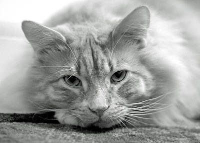 Cats Photograph - Arthur by Lisa Phillips