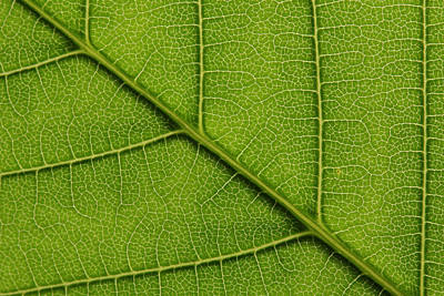 Backlit Close Up Of A Sycamore Maple Print by Joe Petersburger