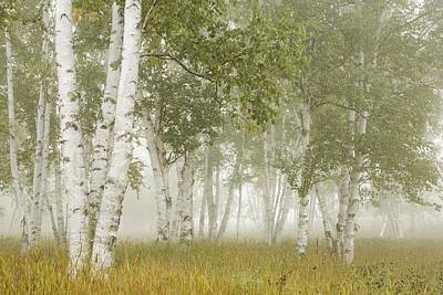 Birch Trees In The Fog Thunder Bay Print by Susan Dykstra