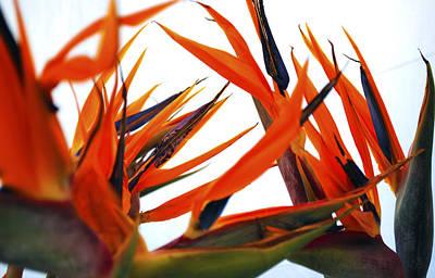 Blooming Photograph - Bird Of Paradise  by Sumit Mehndiratta