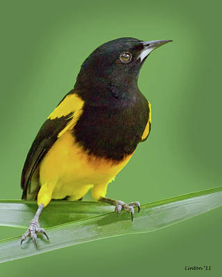 Oriole Photograph - Black-cowled Oriole by Larry Linton