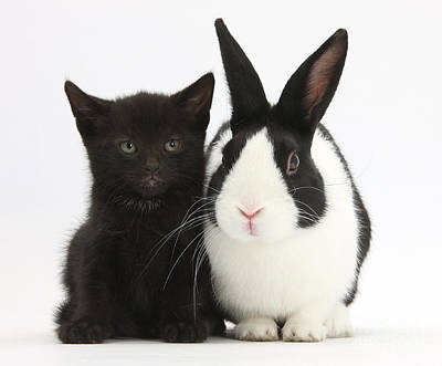 Black Kitten Dutch Rabbit Print by Mark Taylor