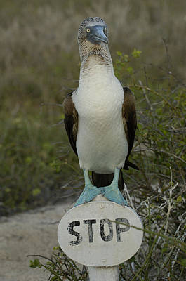 Blue-footed Booby Sula Nebouxii Print by Pete Oxford