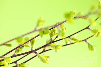 Renewal Photograph - Branches With Green Spring Leaves by Elena Elisseeva