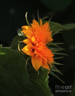 Teddybear Photograph - Bright Orange Teddybear Sunflower by Marjorie Imbeau