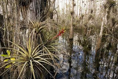 Epiphyte Photograph - Bromeliad (tillandsia Fasciculata) by Bob Gibbons