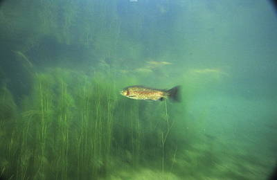 Brown Trout Print by Alexis Rosenfeld