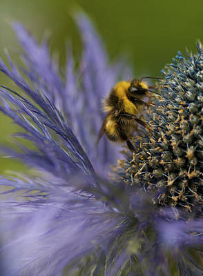 Busy Bee On A Thistle Print by Zoe Ferrie