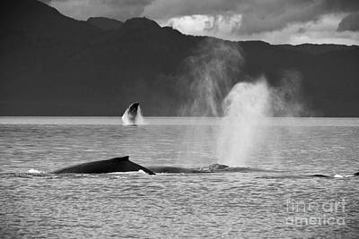 Black And White Photograph - Busy Humpback Whale Pods by Darcy Michaelchuk
