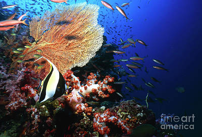 Butterflyfish, Thailand Print by Beverly Factor
