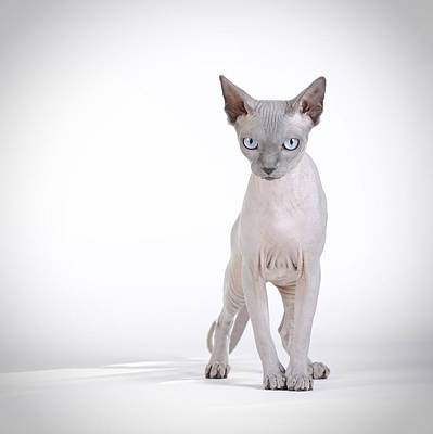 Canadian Sphynx Cat Print by Waldek Dabrowski