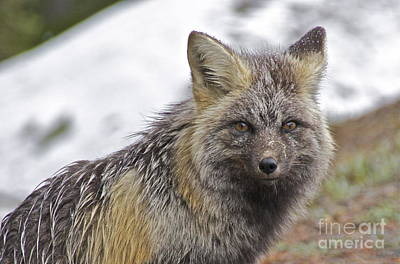 Washington Photograph - Cascade Red Fox by Sean Griffin