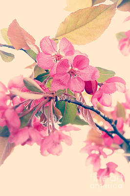 Cherry Blossoms Print by HD Connelly