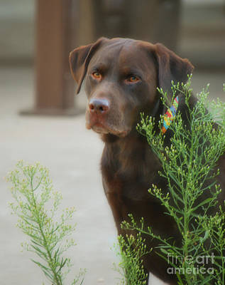 Chocolate Labrador - Womans Best Friend Print by Donna Greene