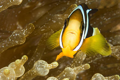 Amimal Faces Photograph - Clarks Anemonefish Among An Anemones by Tim Laman