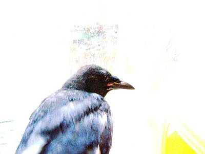 Crow Portrait Print by YoMamaBird Rhonda