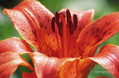 Daurian Lily (lilium Dauricum) Print by Dr. Nick Kurzenko