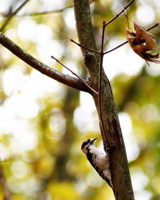 Hairy Woodpecker Photograph - Downy Woodpecker by Scott Hovind