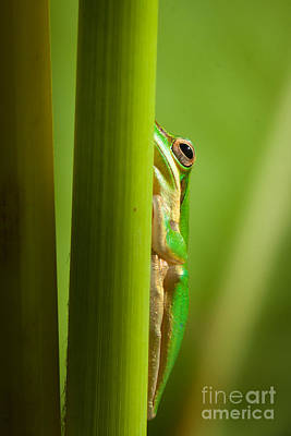 Frog Photograph - Dwarf Tree Frog by Johan Larson