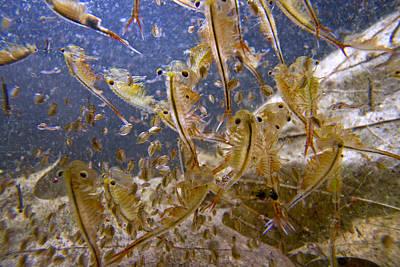 Eastern Fairy Shrimp Easterbrook Forest Print by Piotr Naskrecki