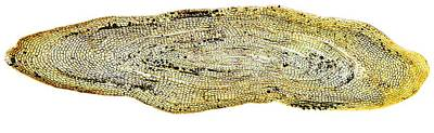 Eel Scale, Light Micrograph Print by Dr Keith Wheeler