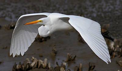 Egret Flight Print by Phil Lanoue