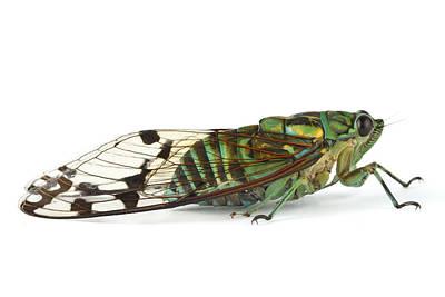 Piotr Naskrecki Photograph - Emerald Cicada Barbilla Np Costa Rica by Piotr Naskrecki