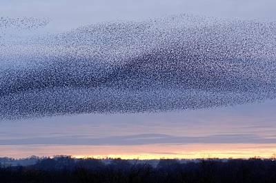 European Starling Flock Print by Duncan Shaw