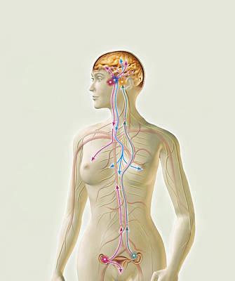 Female Hormone System Print by Claus Lunau