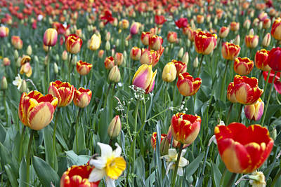 Field Of Tulips Print by Joana Kruse