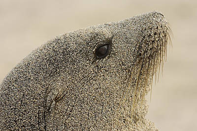 Galapagos Sea Lion Zalophus Wollebaeki Print by Pete Oxford