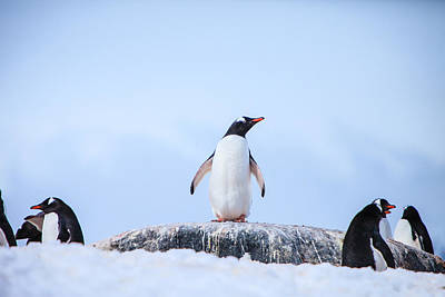 Y120831 Photograph - Gentoo Penguins by Kelly Cheng Travel Photography