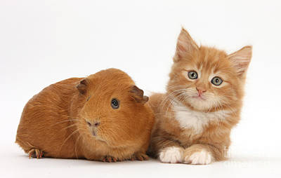 Ginger Kitten And Guinea Pig Print by Mark Taylor