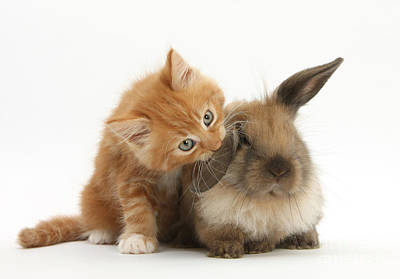Ginger Kitten And Young Lionhead-lop Print by Mark Taylor