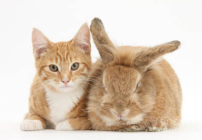 Ginger Kitten With Sandy Lionhead-cross Print by Mark Taylor