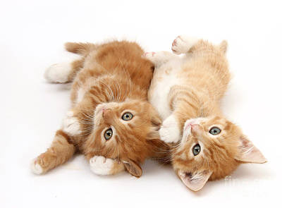 Ginger Kittens Print by Mark Taylor
