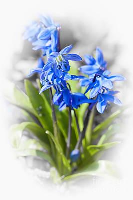 Spring Blue Flowers Wood Squill Print by Elena Elisseeva