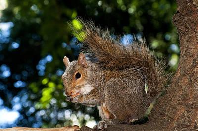 Gray Squirrel Print by Fabrizio Troiani