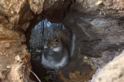Gray Squirrel Print by Ted Kinsman