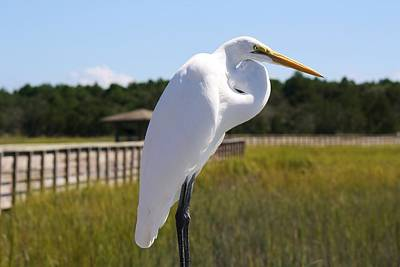 Great White Egret In The Marsh Print by Paulette Thomas
