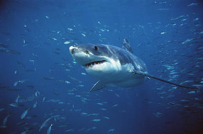 Great White Shark Carcharodon Print by Mike Parry