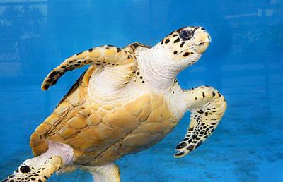 Green Sea Turtle Photograph - Green Sea Turtle 2 by Marilyn Hunt