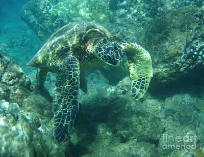 Green Sea Turtle Hawaii Print by Bob Christopher