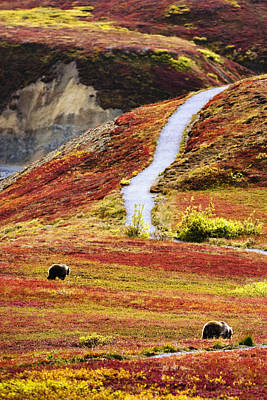 Grizzly Bears And Fall Colours, Denali Print by Yves Marcoux