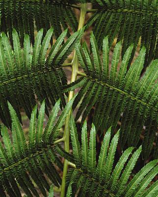 Cibotium Splendens Photograph - Hapu'u Fern by G. Brad Lewis