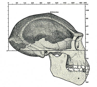 Homo Erectus Skull Print by Sheila Terry