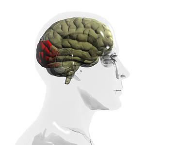Human Brain, Occipital Lobe Print by Christian Darkin