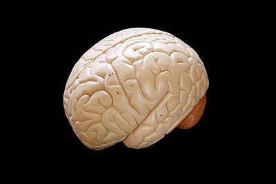 Human Brain Photograph - Human Brain by Richard Newstead