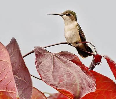 Hummingbird Print by Paulette Thomas